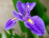 美麗的鳶尾花圖片_7張