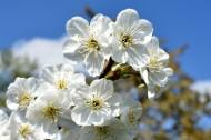 美丽的樱花图片_14张