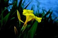 黃色美人蕉圖片_9張