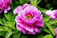 粉色牡丹花图片_6张