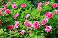 红粉色的一丛牡丹花图片_8张