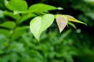 春天新鲜的嫩叶图片_26张