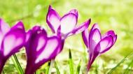 濃郁紫色花朵背景圖片_24張