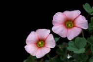 各種顏色的酢漿草花圖片_15張