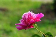 粉色的芍药花图片_22张