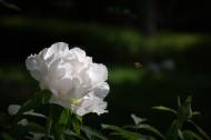 牡丹花图片_8张