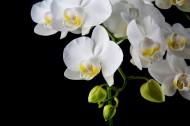 白色蝴蝶兰图片_15张