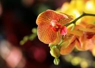 驚艷蝴蝶蘭花卉圖片_7張