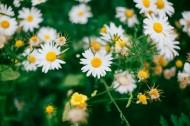 漂亮的雏菊花丛图片_18张