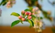 蘋果花圖片_9張