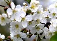 白色的蘋果花圖片_14張