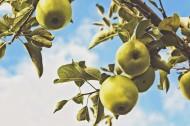 苹果树上的苹果图片_10张