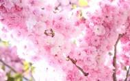 姹紫嫣红的杏花图片_12张