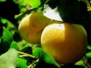 挂满果实的杏树图片_10张