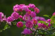 粉色蔷薇图片_7张