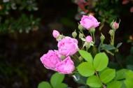 白色和粉色蔷薇花图片_12张
