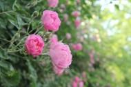 盛开的粉色蔷薇图片_9张