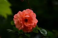 橙色蔷薇花图片_15张