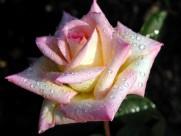 蔷薇图片_20张