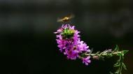 紫色千屈菜图片_8张