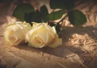 清纯的白玫瑰图片_8张