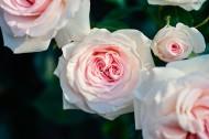 清新的粉玫瑰圖片_10張