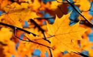 秋季唯美黄叶图片_12张