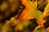 秋天的树叶图片_7张