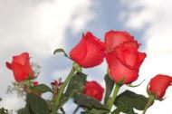 艳丽的红玫瑰图片_9张