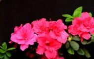 粉红色的杜鹃花图片_5张