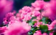 美丽的蔷薇图片_12张