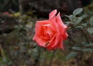 艳丽玫瑰花图片_12张