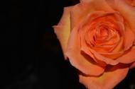 浪漫的玫瑰花图片_10张