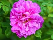 紫色玫瑰花图片_18张