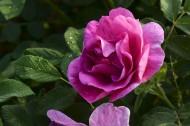 玫瑰花图片_15张