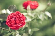 好看的红玫瑰花图片_11张