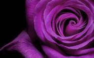 超大玫瑰图片_40张