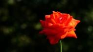 玫瑰图片_8张