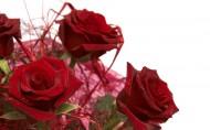 玫瑰花图片_20张
