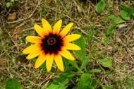 黃色金光菊花卉圖片_10張