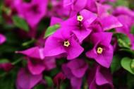 怒放的紫色三角梅图片_13张
