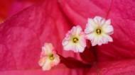 三角梅花的花蕊图片_6张