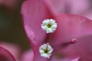 三角梅的花蕊图片_8张
