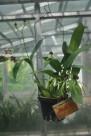 扇貝蘭花朵圖片_1張