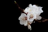 美丽的山杏花图片_12张
