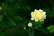 盛开的月季花图片_20张