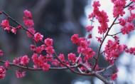 梅花盛开的图片_16张
