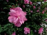 木槿花图片_8张