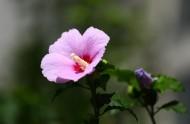 木槿花图片_11张