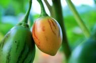 树番茄图片_6张